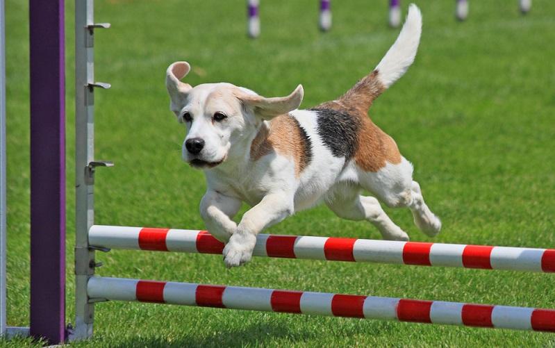 Der kleine Kerl ist ein sehr intelligenter Hund, der viel Freude am Lernen hat. Also Hundesportarten wie Agility oder auch Trickdogging sind genau sein Ding. (Foto: Shutterstock-_teekaygee )
