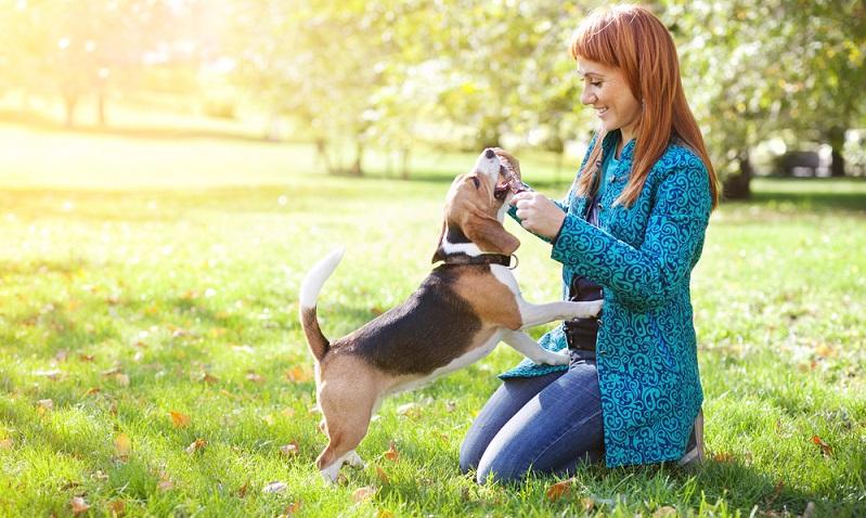 Leicht und einfach zu erziehen ist der Beagle sind dafür ist sein Dickschädel zu ausgeprägt. (Foto: Shutterstock- _Elena Efimova )