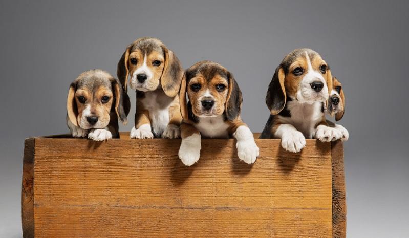 Für einen Beagle, der aus einer seriösen und liebevollen Zucht stammt, der muss um die 1500 Euro rechnen. (Foto: Shutterstock-Master 1305)