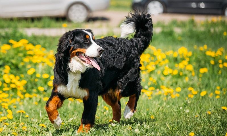 Durch seine imposante Größe, seinen kräftigen Kopf kann man den Berner Sennenhund nicht übersehen. (Foto: Shutterstock-Grisha Bruev )