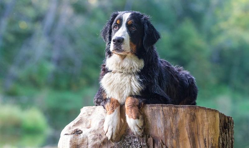 Friedlicher und gemütlicher wie ein Berner Sennenhund kann kein Hund sein. ( Foto: Shutterstock-DragoNika )