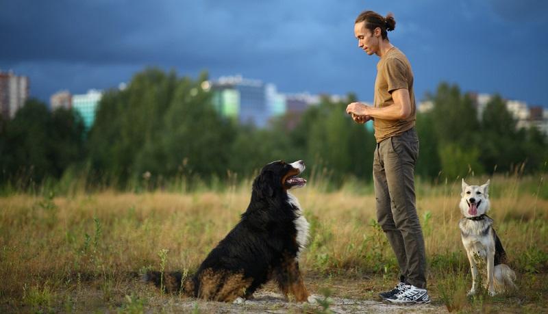 Als Arbeitshund für den Bauernhof wurde der Berner Sennenhund gezüchtet. Seine angeborene Führigkeit und Gelehrigkeit sind fest in seinem Charakter verankert. (Foto: Shutterstock-Alex Zotov)