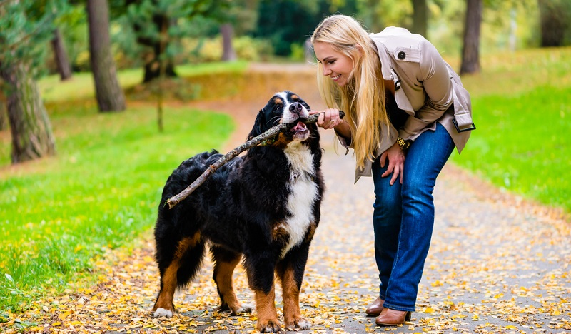 Durch das dicke Fell macht die Hitze dem Kreislauf des schweren Hundes sehr zu schaffen. Mehrmals die Woche muss das üppige Fell des Berner Sennenhundes gebürstet werden. (Foto: Shutterstock- Kzenon )