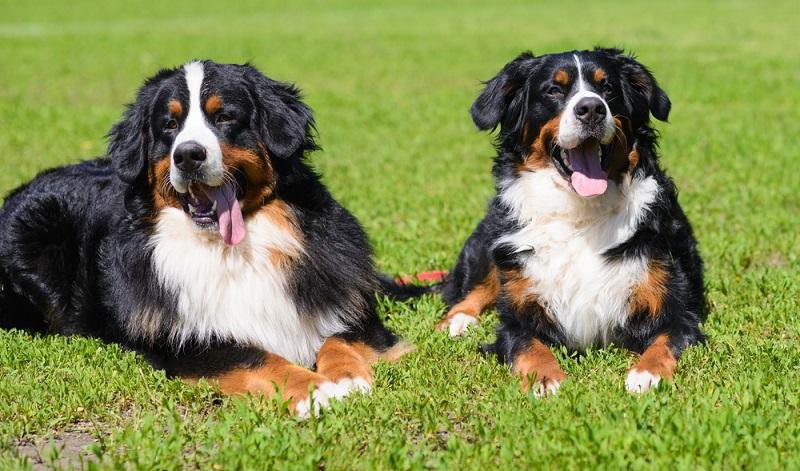 Den Berner Sennenhund als agil zu bezeichnen wäre schamlos übertrieben, trotzdem braucht er mehrere längere Spaziergänge am Tag. ( Foto: Shutterstock- Cheese78)