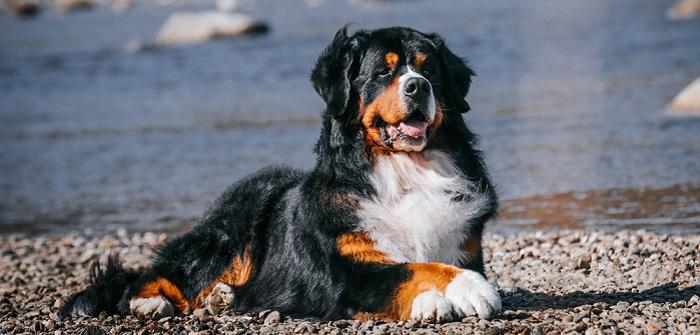 Berner Sennenhund: verschmuster Schoßhund im Großformat (Foto: Shutterstock-Eve Photography)