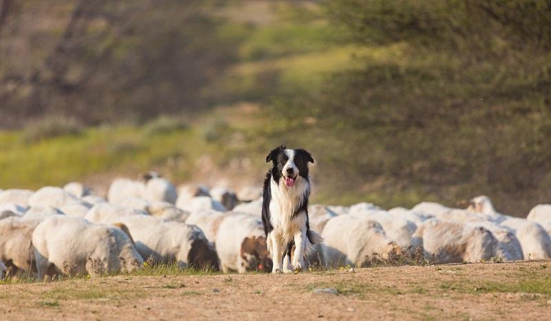 Seit hunderten von Jahre wurde der Border Collie als Hütehund für Schafe eingesetzt. ( Foto: Shutterstock-S10001)