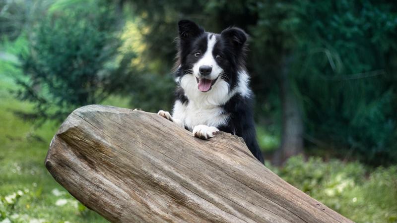 Ein Hund mit extrem guter Auffassungsgabe, sehr sensible, lernt schnell, diese Eigenschaften beschreibend den Broder Collie. (Foto: Shutterstock-Fusekle )