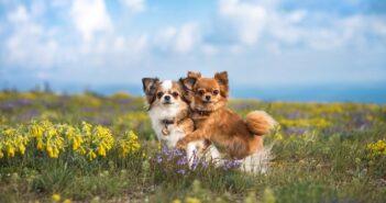 Chihuahua: das musst Du tun, um mit ihm auszukommen ( Foto: Shutterstock- Hurianova Olga )