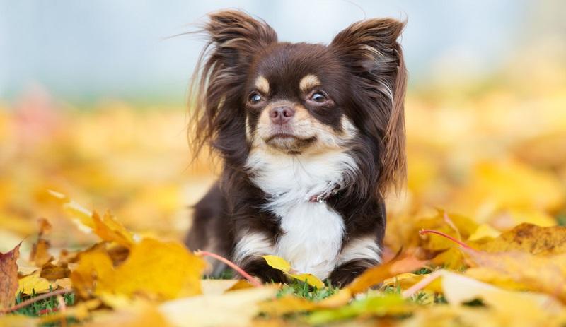 Eine 100-prozentige Sicherheit der Herkunft des Chihuahuas besteht nicht. Man geht davon aus, dass seine Wurzeln höchstwahrscheinlich in Mexiko liegen.  (Foto: Shutterstock-otsphoto)