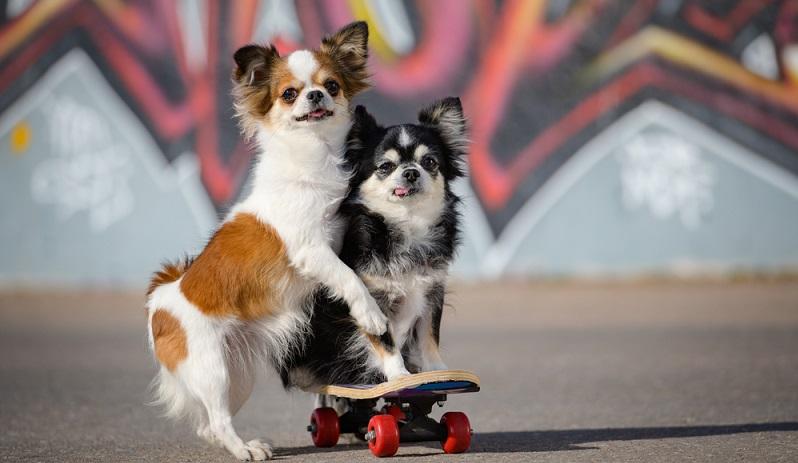 Die Verantwortung für ein Lebewesen erstreckt sich über seinen gesamten Lebenszeitraum. Bei Chihuahuas sind das durchschnittlich 16 bis 18 Jahre.  ( Foto: Shutterstock-Ruslan Shugushev )