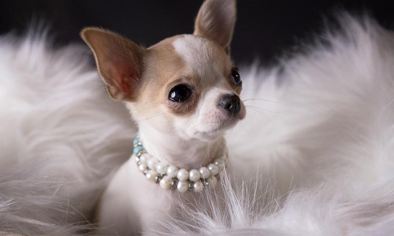 Mit der Lebenserwartung der Chihuahuas von 16 bis 18 Jahren geht für den Hundebesitzer auch eine eben so lange Verantwortung einher.  (Foto: Shutterstock-  Lilia Ognianova Simova )