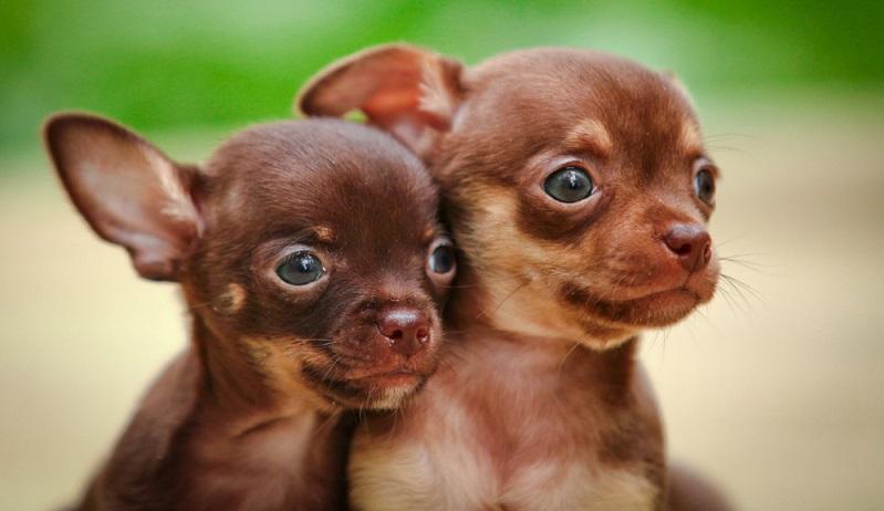 Seriöse Züchter verkaufen einen Chihuahua-Welpen aktuell für 1.000 bis 1.500 Euro. Bei deutlich günstigeren Angeboten für einen Chihuahua sollte man skeptisch werden.  (Foto: Shutterstock-dezy)
