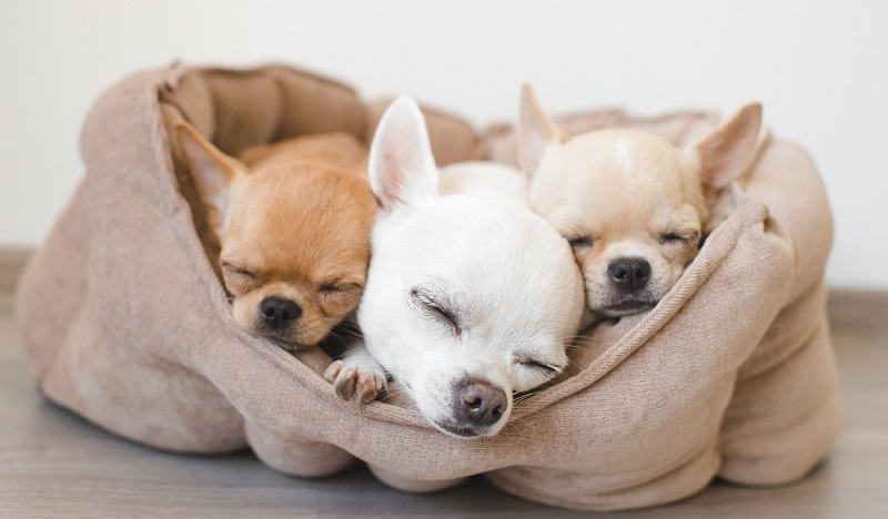 Bevor der Chihuahua-Welpe in sein neues Zuhause einziehen darf, muss es hundesicher gemacht werden. ( Foto: Shutterstock-  Benevolente82 )