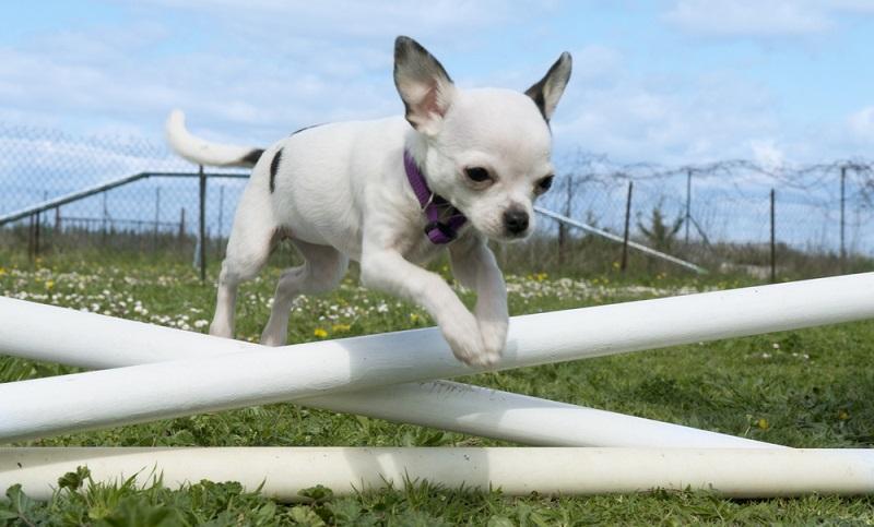 Chihuahuas sind die Rampensäue unter den Hunderassen. Mit Agility über Hürden springen oder durch Tunnel flitzen, beim Dog Dance Jarabe Tapatio tanzen oder Tricks lernen können sie der Welt zeigen, dass sie da sind. (Foto: Shutterstock- cynoclub)