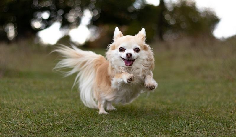 Der Chihuahua gilt schon seit langer Zeit als beliebter Modehund. (Foto: Shutterstock- Larky78 )
