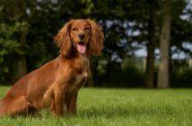 Cocker Spaniel: Der elegante und vornehme Engländer (Foto: Shutterstock-rebeccaashworth )