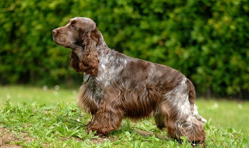 Sein menschenfreundliches, aufmerksames Wesen ohne rassetypische Macken macht ihn zum optimalen Familienhund.  (Foto: Shutterstock- Ricantimages )