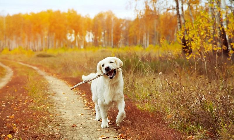 Der Golden Retriever liebt es in der Natur zu sein, dort fühlt er sich am wohlsten. Also der optimale Begleiter für Menschen die sich auch am liebsten in der Natur aufhalten. ( Foto: Shutterstock- Evgeny Bakharev )