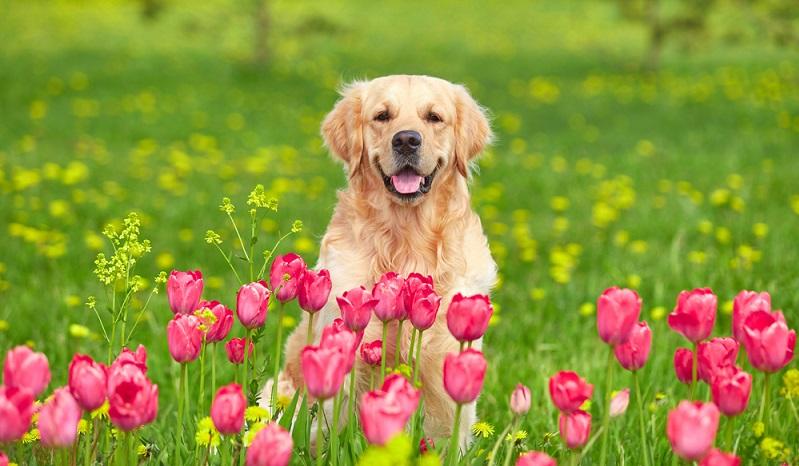 Sowohl als Jagdhund, Familienhund, Dienst und Rettungshund er begeistert in allen Disziplinen. (Foto: Shutterstock-Veronika Seppanen )