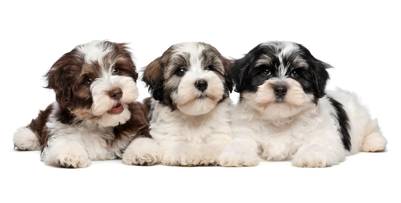 Ein seriöser Züchter der Havaneser ist grundsätzlich Mitglied in einem Dachverband oder Zuchtverein wie zum Beispiel dem VDH (Verband für das Deutsche Hundewesen).  (Foto: Shutterstock-Dorottya Mathe )