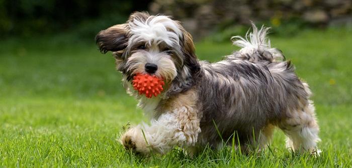 Havaneser: das aktive Fellknäuel liebt sportive ( Foto: Shutterstock-Dorottya Mathe)