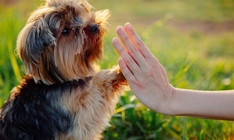 Beherrscht der Hund bereits sämtliche Tricks, die notwendig sind, kann er auch Neues lernen. (Foto: Shutterstock-Yolya Ilyasova )
