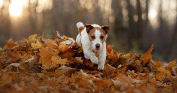 Jack Russel Terrier: Der kleine beliebte Engländer (Foto: Shutterstock-dezy)