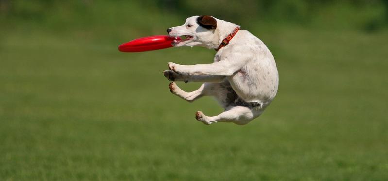 Der Jack Russel Terrier braucht Bewegung, er springt für seinen Leben gern. (Foto: Shutterstock- Andraž Cerar)