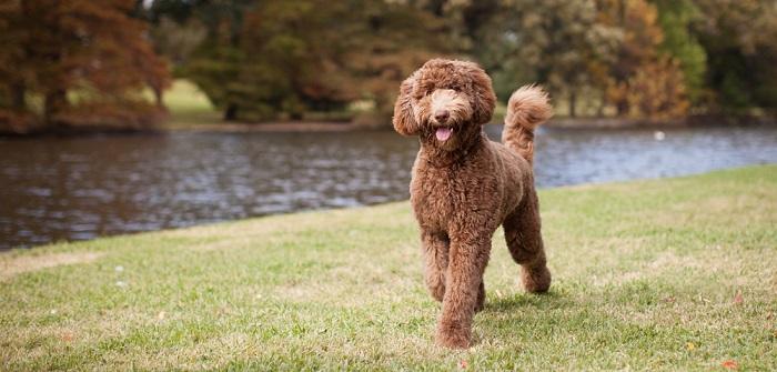 Labradoodle: Energiebündel und Überraschungsei (Foto: Shutterstock- The Dog Photographer_)