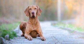 Magyar Vizsla: Vorstehhund zum Schmusen ( Foto: Shutterstock- TMArt_)