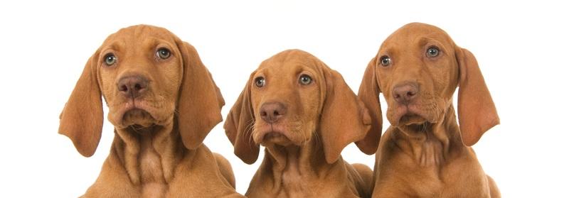 Im 18 Jahrhundert wurde der Magyar Vizsla in Ungarn gezüchtet. Seine direkten Vorfahren sind die Hunde der Magyaren einem Reitervolk aus Eurasien.  (Foto: Shutterstock-_De Jongh Photography )