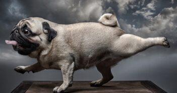 Mops: Charmeur auf vier Pfoten (Foto: Shutterstock-Seriv )