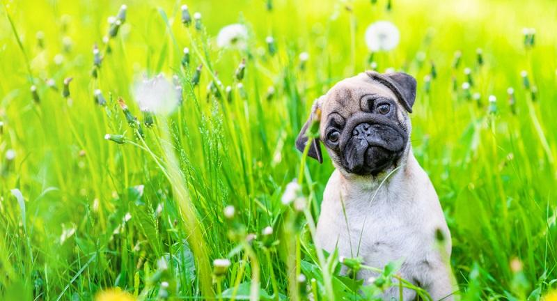 Ganz klar lässt sich der Ursprung des kleinen Hundes nicht benennen. Vollkommen klar ist aber, dass er aus China stammt. (Foto: Shutterstock-Ermolaev Alexander )