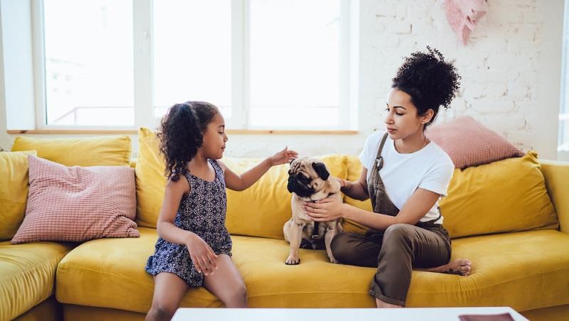 Aufmerksamkeit seines Menschen zu bekommen ist dem Mops sehr wichtig. (Foto: Shutterstock-GaudiLab)