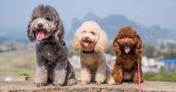 Pudel: Gelockte Schönheit mit Familiensinn (Foto: Shutterstock- Chendongshan )