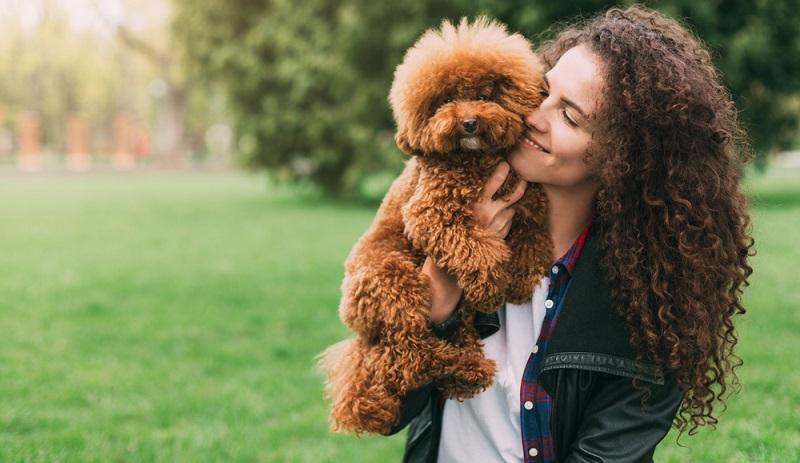Einen Pudel zu erziehen ist durch das hohe Maß an Lernwilligkeit kein Problem. Also als Ersthund hervorragend geeignet. (Foto: Shutterstock-Prostock-studio )