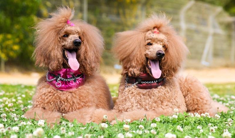 Für die Züchtung von Hybridhunden sind die hypoallergenen Eigenschaften des Pudels perfekt.  ( Foto: Shutterstock- Lisjatina )