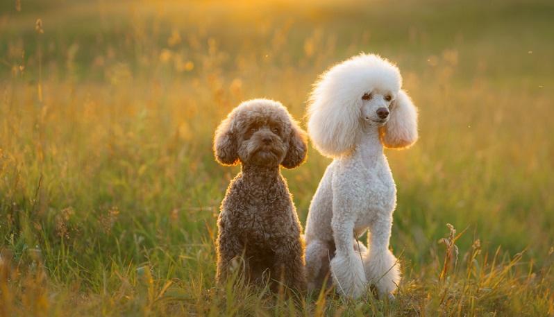 Es gibt niemanden, für den der Pudel als Haustier nicht geeignet wäre.  ( Foto: Shutterstock-Dezy)