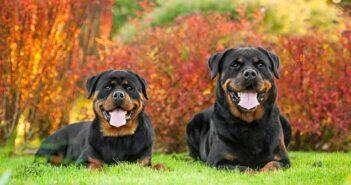 Rottweiler: Beschützer und wohliger Begleiter in Einem (Foto: Shutterstock-Rita_Kochmarjova)