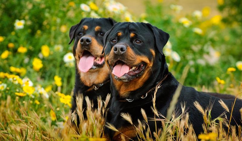 Die Anschaffung eines Rottweiler ist mit einer sehr großen Verantwortung verbunden.  (Foto: Shutterstock-everydoghasastory )