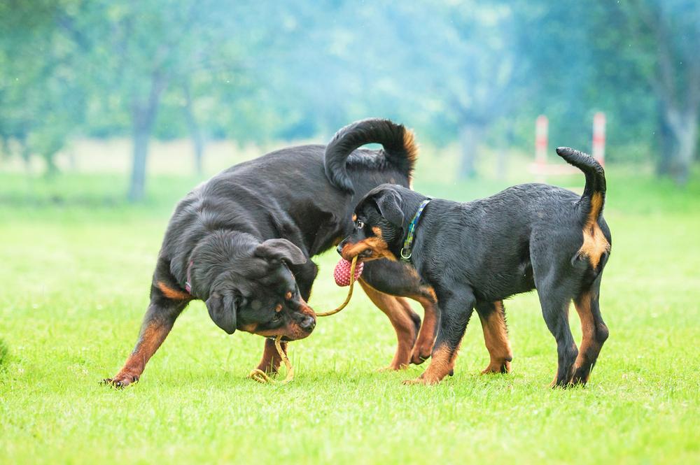 Der Rotti, wie der Rottweiler auch liebevoll genannt wird, zeichnet sich durch seinen mittelgroßen, athletischen und muskulösen Körperbau aus. ( Foto: Shutterstock-Eric Isselee _)