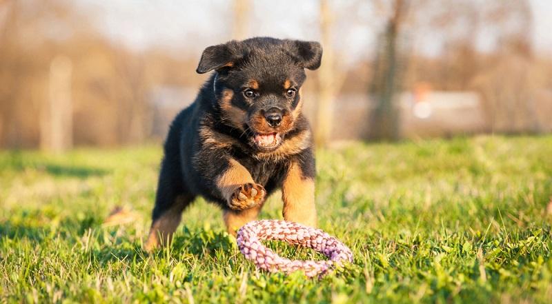 Bei einem Rottweiler ist die intensive Sozialisierung Erziehung des Hundes durch seinen Halter unbedingt notwendig. (Foto: Shutterstock-Rita_Kochmarjova)