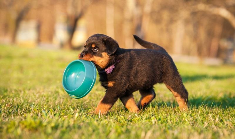 Klar ist, dass der Rottweiler zu den ältesten Hunderassen gehört. ( Foto: Shutterstock-Rita_Kochmarjova )
