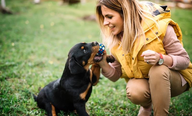 Der Rottweiler eignet sich nicht für Anfänger.  ( Foto: Shutterstock-bogdanhoda   )
