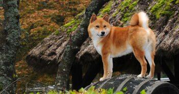 Shiba Inu: Der kleine Japaner (Foto: Shutterstock-_Ricantimages)