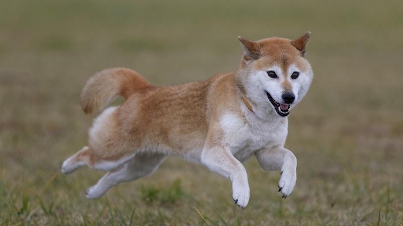 Hundesportarten wie Agility, Rally Obedience oder Mantrailing sind Charakterabhängig. (Foto: Shutterstock-_mannpuku)