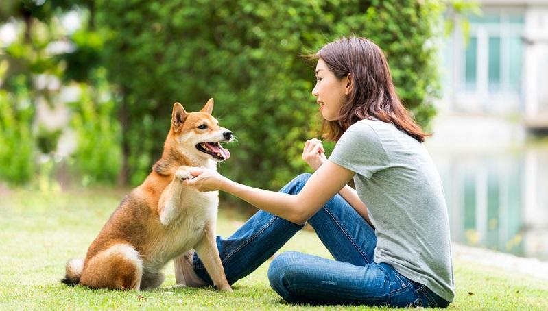 Der Shiba Inu ist eigentlich ein Jagdhund mit durchaus eigenem Willen. Den Platzierungswillen sucht man aber bei ihm vergeblich. (Foto: Shutterstock- thirawatana phaisalratana)