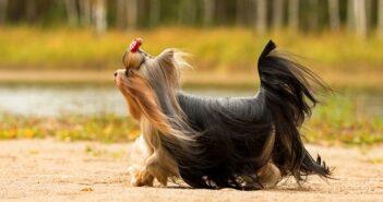 Yorkshire Terrier: warum Du ihn sofort in dein Herz schließen wirst (Foto: Shutterstock-Margarita Zhuravleva )