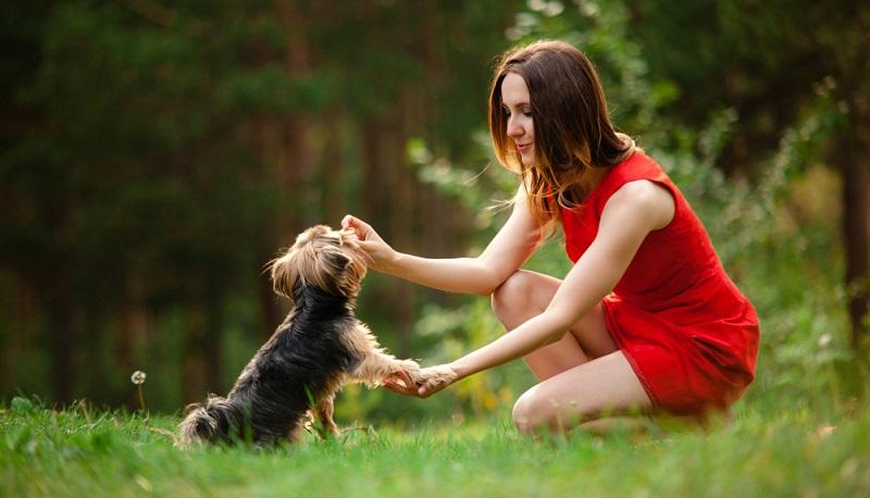 Der Yorkshire Terrier ist ein selbstbewusster Hund, der gerne mutig auftritt und zur Selbstüberschätzung neigt.  (Foto: Shutterstock-Yolya Ilyasova )