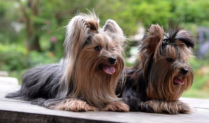 Der Yorkie-Boom, der aufgrund seiner ungehemmten Beliebtheit ungebrochen ist, wirkt sich leider auch auf die Gesundheit der Terrier aus.  (Foto: Shutterstock-_Mr. SUTTIPON YAKHAM)
